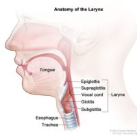 002-labextrade.com-anatomy-larynx