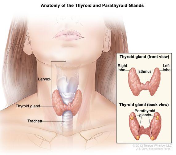 002-labextrade.com-thyroid-glands