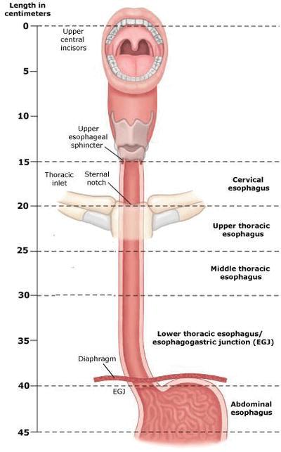 010-esophagos